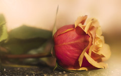 A Rose by Any Other Name (charhedman) Tags: flower macro rose bokeh resting thorns blooming sanoberkhan