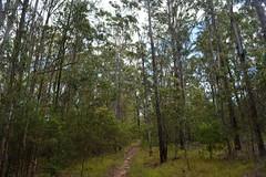 Dunn's White Gums (dustaway) Tags: nature forest landscape track australia nsw eucalyptus australianlandscape myrtaceae northernrivers australiantrees richmondvalley dunnswhitegum eucalyptusdunnii
