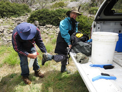 Brush down and spray (Environment + Heritage NSW) Tags: weed volunteers volunteer kosciuszko kosciuszkonationalpark orangehawkweed noxiousweed volunteerprogram weedcontrol orangehawkweedcontrolprogram weedprogram