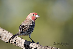 House Finch (countryphotoguy) Tags: male art nature birds photography wildlife birding prints housefinch wildlifephotographer photograper wildlifeart markchapman wildcreatures naturephotographer wildlifeprints countryimages countryphotoguycom