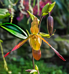 Phragmipedium (bric) Tags: flowers kewgardens orchids