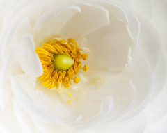 Ranunculus (lclower19) Tags: white flower macro green yellow flora little ranunculus promptaddicts