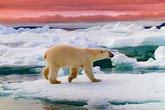 Polar Bear. (Cycling Saint) Tags: nature naturalworld nikond750