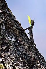 Draco dussumieri (Prashob adithiruthy) Tags: flying nikon ngc lizard southern westernghats silentvalley nikon5100 nikon70300 savewildlife dracodussumieri southernflyinglizard