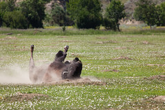 Dust Bathing (GlobalGoebel) Tags: 3 canon eos buffalo mark iii north dirt american northdakota 5d dust bison dakota rolling unit mark3 markiii theodorerooseveltnationalpark 24105mm canonef24105mmf4lisusm southunit