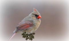 Welcoming me home... (bankst) Tags: winter orange brown nature nikon cardinal femalecardinal bestofday amazingamazing d5100