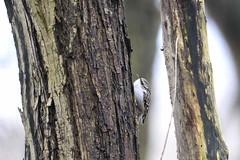 _HNS7161 Boomkruiper : Grimpereau des jardins : Certhia brachydactyla : Garten-Baumlaufer : Short-toed Treecreeper