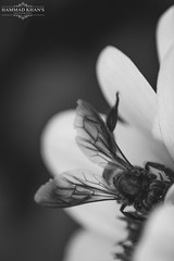 Sugary Bee (Hammad Khan's Photography) Tags: flowers light summer blackandwhite bw white black flower macro nature closeup garden dark 50mm nikon flickr dof depthoffield honey honeybee watermark nikoncamera nikonlens flickrworld nikonphotography d7100 flickrpakistan