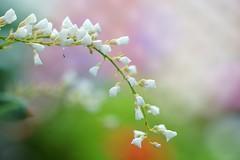 ハーデンベルギア/ Hardenbergia violacea (nobuflickr) Tags: flower nature japan kyoto 日本 花 thekyotobotanicalgarden hardenbergiaviolacea 京都府立植物園 awesomeblossoms 早春の草花展 マメ科ハーデンベルギア属 20160219dsc02062