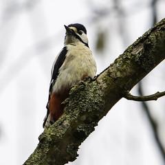 Bonte Specht (gijs leusink1) Tags: birds vogels bontespecht genemuiden nikond7100 gijsleusink