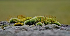 Moss on the Wall (Kai Beinert) Tags: moss moos macro nature natur walls wände street outdoor green nikon