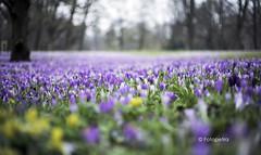 Krokus unendlich (petra.foto on/off) Tags: flowers germany deutschland blumen lbeck krokus stadtpark holstein frhling schleswig frhjahr frhblher