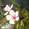 IMG_8021 (caligula1995) Tags: iphoto plumtree iphone sapling plumflower 2016