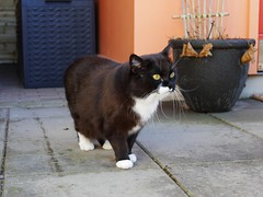 Tussi has been out... (vanstaffs) Tags: t tuxedocat tux tutu tusse tussi tuzz tuxedogirl myprettytuxedogirl tuzz