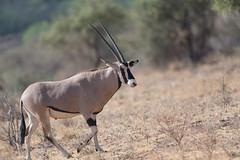 Oryx (Lluniau Clog) Tags: kenya samburu oryx beisaoryx samburunationalreserve oryxbeisa samburucounty