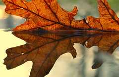 inner resources (joy.jordan) Tags: reflection texture puddle leaf bokeh