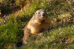 Marmot (Harald Schnitzler) Tags: light sunshine licht rodent nagetier feldkirch sterreich warm marmot murmeltier vorarlberg warmes at