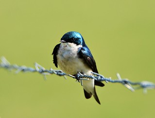 Tree Swallow by Jackie B. Elmore 3-28-2016 Lincoln Co. KY
