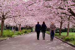 Sakura (Ulrich J) Tags: flowers trees cemetery copenhagen denmark spring trer cherryblossom sakura danmark blomster kbenhavn bispebjerg forr kirkegrd mennesker kirsebrblomster