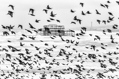 West Pier (markfly1) Tags: west birds pier ruins brighton flock stormy minimal roosting seas starlings murmuration