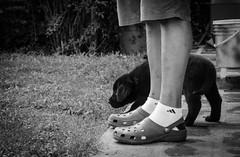 Primero pasos (facundoroca) Tags: bw dog white black blanco argentina nikon labrador negro bn perro cachorro pies cordoba mirada mascota dueo confianza d5100