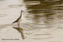 Archibebe claro (minutuuno) Tags: animal asturias ave pajaro villaviciosa ria asturies paxaru minutuuno