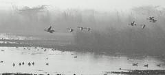 Okhla Bird Sanctuary (me suprakash) Tags: india monochrome birds blackwhite delhi migratorybirds sigma170500mm nikond90 okhlabirdsanctuary birdsinmist inawintermorning