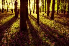 Light through yonder trees (Dreamcatcher photos) Tags: sun forrest rays soe flowercarpet capetownsouthafrica capeflora dreamcatcherphotos