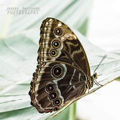 On a leaf (Andrea Rapisarda) Tags: nature backlight butterfly zoom sony naturallight natura ali farfalla controluce geometrie allrightsreserved a6000
