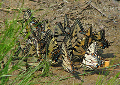 a flutter of swallowtails (Vicki's Nature) Tags: lake yellow canon georgia stripes butterflies ground s5 puddling 7694 hickorylog tigerswallowtails vickisnature