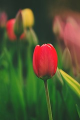 A lonely tulip (Pavel Cervenka Photographer) Tags: plant flower detail nature beautiful field canon wow wonderful spring nice colorful soft paint republic czech bright bokeh tulip lonely lovely minimalism depth catchy pavel cervenka 60d efs60f28macro