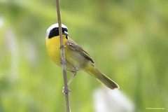 Peeking (shimmeringenergy) Tags: delta commonyellowthroat geothlypistrichas parulinemasque