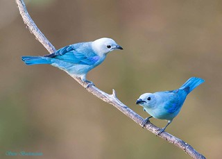 Blue-gray Tanagers
