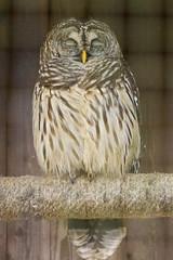 DUC_2431r (crobart) Tags: bird birds florida center owl prey raptors barred audubon maitland