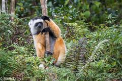 MarcTailly_mgb201508314750.jpg (hayastanlover) Tags: animals lemur mammals madagascar dieren primates primaten zoogdieren
