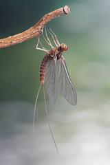 Mayfly (andre de kesel) Tags: studio mayfly ephemeroptera focusstacking canonef100mm128lisusm starretmicrometer newport430 lupoluxdayled1000 sonya6300 metabonescanoneftosonyesmartadaptermarkiv