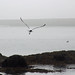 Gull flying off with mussel