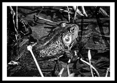 Don't Bother Me (brev99) Tags: blackandwhite nature border frog d7100 ononesoftware nikviveza tamron70300vc highqualityanimals photoshopelements12 perfecteffects9 dxofilmpack5