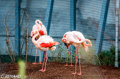 Flamands roses 2 (fox7725) Tags: nature animal rose zoo animaux oiseau flamandrose faune voler volaille zoologie flamandsroses volail