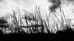 (Vanvan_fr) Tags: sky blackandwhite bw france nature clouds plante reeds photo noiretblanc gr nuages roseaux touraine