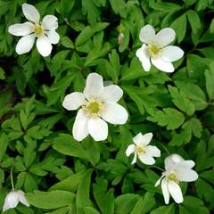 Buschwindrschen (Stiller Beobachter) Tags: white flower spring blossom anemone