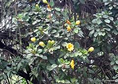 DSC_0495 (rachidH) Tags: flowers nepal nature vines lily blossoms kathmandu blooms solandramaxima chalicevine cupofgoldvine hawaiianlily goldenchalicevine rachidh solandragéante