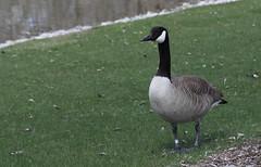 Goose, Fermilab. 2 (EOS) (Mega-Magpie) Tags: usa green nature water grass america canon outdoors eos illinois outdoor wildlife dupage goose il batavia kane fermilab winfield 60d