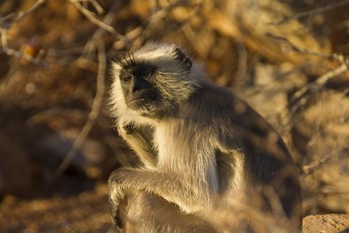 Affen in Pushkar