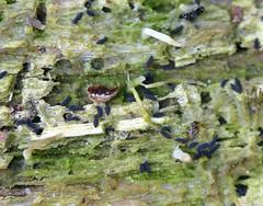 Springtails (Hypogastrura nivicola?) swarming on Multiclavula mucida, a lichen (A Really Small Farm) Tags: macro insects lichen algae springtails collembola hexapods multiclavula hypogastruranivicola