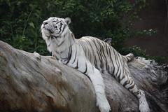 white tiger (Olaya Garcia) Tags: parque white blanco canon island eos tiger canarias lp tenerife canary tigris tigre islas loro teneriffe loroparque pantheratigris yangyu tigreblanco 1000d linmao whitetigerpanthera