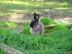 Toki (Anomieus) Tags: pet cute rabbit bunny bunnies animal furry konijn conejo tail ears rabbits paws coney coelho lapin kaninchen houserabbit coniglio cottontail  cony kanin  krlik leporidae nyl  iepure  leporid    kuni