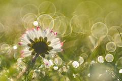 pink and bubbles (w-venne) Tags: sun plant drops blossom pflanze daisy blte sonne tropfen ort gnseblmchen bellisperennis