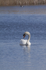 Mute Swan (3) (Mal.Durbin Photography) Tags: nature birds newport naturereserve newportwetlands maldurbin goldcliffnewport