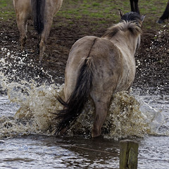 Wild Horses in black-and-white - Bathing - 2016-007_Web (berni.radke) Tags: horse pony bathing herd nordrheinwestfalen colt wildhorses foal fohlen croy herde dlmen feralhorses wildpferdebahn merfelderbruch merfeld przewalskipferd wildpferde dlmenerwildpferd equusferus dlmenerpferd dlmenpony herzogvoncroy wildhorsetrack